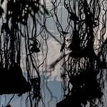 Racines de banyan et petit oiseau, Ayutthaya thumbnail