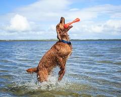 I am a shark now!• • • • • #campingwithdogs #hikingwithdogs #dogsonadventures #dogsthathike #adventuredog #thestatelyhound #houndandlife #backcountrypaws #doglove #hikingdogsofinstagram #excellent_dogs #adventureswithdogs #topdogphoto #heelergram #hikingd (watson_the_adventure_dog) Tags: i am shark now• • campingwithdogs hikingwithdogs dogsonadventures dogsthathike adventuredog thestatelyhound houndandlife backcountrypaws doglove hikingdogsofinstagram excellentdogs adventureswithdogs topdogphoto heelergram hikingdog animaladdicts traildog pawsitiveliving bestwoof hikingcollective wanderireland instaireland inspireland irishpassion irelandgram loveireland raisingthewoof