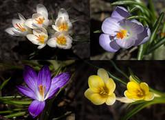 Crocuses (San Francisco Gal) Tags: collage crocus flower fleur bloom blossom macro ngc npc