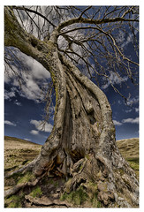 twisty tree (jilliannelson17) Tags: oldtree bluesky sleepyhollow scotland sunshine