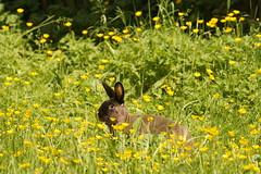 Toki (Tjflex2) Tags: rabbit bunny lagomorph