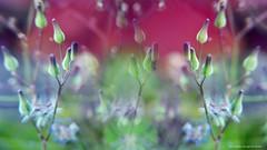 onirica (ojoadicto) Tags: delicate soft suave nature naturaleza flowers flores silvestres digitalmanipulation