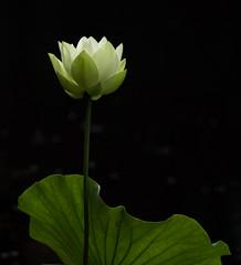 Lotus (stephaniepluscht) Tags: alabama 2017 charles wood japanese garden lotus flower bloom
