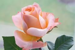 light pink rose (rick ligthelm) Tags: rose pinkrose pink lightpinkrose fragile macro closeup flower fleur blume