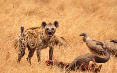 The Scavengers, Serengeti National Park, Tanzania (Poulomee Basu) Tags: nikond90 nikon lightroom savannah naturelovers nature safarilovers safari tanzania serengeti vulture scavenger hyena wildlifephotographer wildlifephotography wilderness wildlife wild