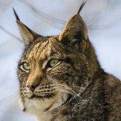 Luchs (Wildfaces_No.1) Tags: luchs katze raubkatze eurasischerluchs fleischfresser raubtier portrait