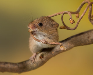 Harvest mouse on Hazel