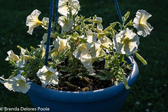 _BDP2486 (BrendaDeloresPoole) Tags: flowers petunias sunset backlighting
