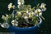 _BDP2486 (BrendaDeloresPoole) Tags: flowers petunias sunset backlighting