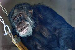 Tubman (cmw_1965) Tags: tubman chimpanzee ape monkey wales welsh animal sanctuary primate coelbren abercrave caehopkin william president liberia