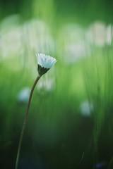 i'm listening (christian mu) Tags: flowers nature bokeh botanicalgarden botanischergarten münster muenster sonya7ii sony 9028g 90mm 9028 macro christianmu spring