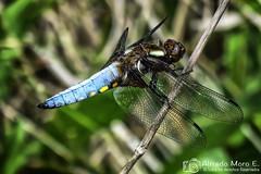 Libellula depressa macho maduro ( Linnaeus,1758) (Esmerejon) Tags: libelluladepressamachomadurolinnaeus 1758realizadaenvillarroquel león eldía2752017 insectos odonatos libélulas naturaleza insectosvoladores