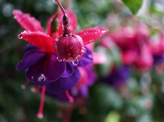 Water. Color. (puckish) Tags: fuchsia pink purple mayflowers