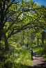 nov2016 (29 of 30) (dltree76) Tags: oak forest tree trees woods wood boy summer path trail hiking nature leaf leaves whiteoak redoak road