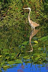 Some type of Heron, Florida Everglades (gg1electrice60) Tags: keywest keywestextension floridakeys florida fl fecrsconvention fecrs floridaeastcoastrailwaysociety floridaeastcoastrailway fecrailway fec fecrwy aftertheconvention duringmydrivehome alligatoralley interstate75 i75 birds herons oriole blackcrestednightheron everglades evergladesfrancisstaylorwilflifemanagementarea francistaaylor southfloridawatermanagementdistrict miccosukeetribeofflorida miccosukeeindianreservation conservationarea floridafishandwildlifeconservationcommission conservationarea3anorth i75northbound browardcounty thisisyourlocation milemarker352 mm352 wildlife animals nature