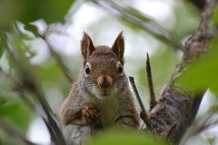 I Think Somebody Needs A Manicure! (DaPuglet) Tags: squirrel squirrels redsquirrel animal animals nature wildlife red fur nails claws sunrays5 coth alittlebeauty coth5 ngc fantasticnature npc