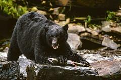 Get Your Own! (Dick Shaffer) Tags: blackbear bear animal fishing stream stare look alaska salmon fish river