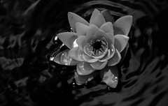 drowning (samirart) Tags: drowning seerose waterlily water lily reflection flower macro macrodreams lake white explore emotion endless esthetic edit editing beautiful detail germany new art up unstoppable fun outdoor sun summer light lights view contrast focus youth moment photo pretty photography artistic sky dark galerie captured close blackandwhite bw nature