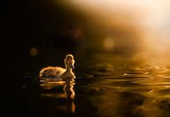 'New Life' (Jonathan Casey) Tags: duckling duck golden light whitlingham broad norfolk nikon d810 400mm f28 vr