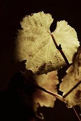 Asma yaprağı (halukderinöz) Tags: asma vine yaprak leaf plant bitki sephia ışık light gölge shadow ankara türkiye turkey unning s canoneos40d eos40d hd