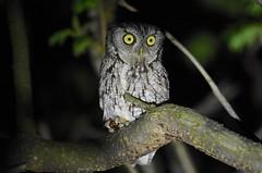 Eastern Screech Owl (adult) (aj4095) Tags: eastern screech owl nature wildlife forest night bird birding
