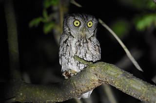 Eastern Screech Owl (adult)