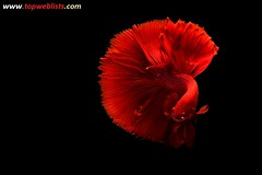 The Art of Siamese fighting betta fish movement black background (avinashkumar21) Tags: isolated aquatic dragon aggressive white tail power fighting luxury aquarium black abstract dress color blue colorful betta beauty motion siamese art beautiful background domestic water space fish nature pet exotic animal