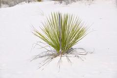 2-072 Dune Grass (megatti) Tags: desert dunegrass dunes grass newmexico nm sand sanddunes whitesandsnationalmonument