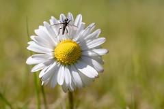 daisy and fly (Bea Antoni) Tags: canon tamron makro macro fliege fly natur nature daisy gänseblümchen flower blume