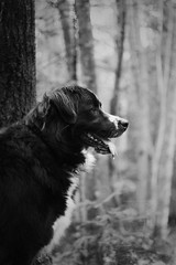 Daisy (MJC.Photography) Tags: dog dogs animal animals chien chiens labernois blackdog mydog lovedog dogphotography