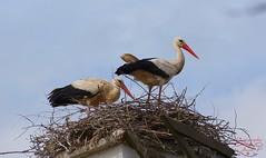 Storks (Jurek.P) Tags: ptaki birds bociany storks gniazdo nest mazury masuria poland polska jurekp sonya77