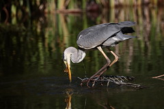 Catching fish (Régis (R208)) Tags: paris bercy bird oiseau nature wild greyheron heron fish hunt chasse proie predateur