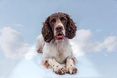 23/52 ZigZag 2017 (Flemming Andersen) Tags: 52weeksfordogs animal cocker zigzag dog hund pet portrait