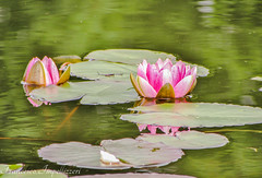 Flowers (Francesco Impellizzeri) Tags: brighton england garden flowers water reflections ngc