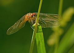 Having a place to rest (kendoman26) Tags: dragonfly macro closeup nikon nikond7100 nikkor70210f4f56 topazdetail topazsoftware