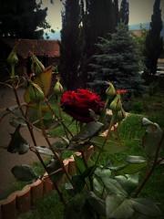 Rose flower, роза (Anna Gelashvili) Tags: roseflower цветокроза rose flower flowers цветочки garden красныецветочки