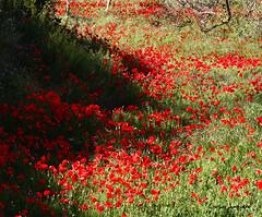 amapolas (carlosjunquero) Tags: amapolas flores