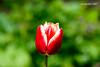 20170420-DSC_9626 (compidoc) Tags: bluete blumenpflanzen hamburg kirschbluete plantenunblomen tiere tulpe vogel zustand