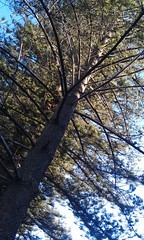 Looking up the trunk of a Norfolk Is Pine at Bilgola (spelio) Tags: travel nsw sydney beach norfolk island pine tree