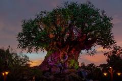 The Tree of Life at Sunset - May, 2017 (rowanb73) Tags: disney disneyworld animalkingdom disneysanimalkingdom treeoflife sunset