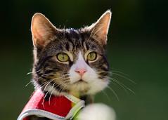 'Little Red Jacket' (Jonathan Casey) Tags: kitten cat tabby harness outdoor nikon d810 zeiss 135mm f2 apo carlzeiss aposonnart2135