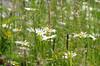 Margeritenwiese (greenoid) Tags: wiese margeriten blume margeritenwiese magerwiese