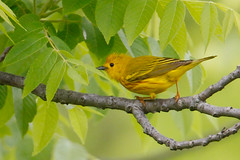 _53F8996-Edit Yellow Warbler (~ Michaela Sagatova ~) Tags: birdphotography canonphotography michaelasagatova warbler yellowwarbler