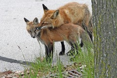 Sweet Daddy (marylee.agnew) Tags: red fox father caring loving nature wildlife canine outdoor mammal