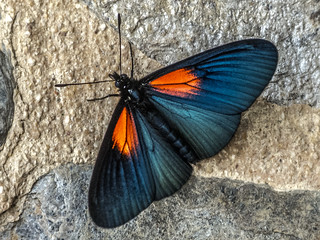 The Andean butterfly Altinote ozomene (Mariposa Hada)