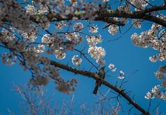 Bird and Blossom (elenaleong) Tags: tokyo17 bird cherryblossom sakura fullbloom oshinohakkai elenaleong yamanashiprefecture