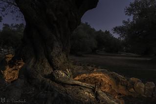 El olivo de las hadas