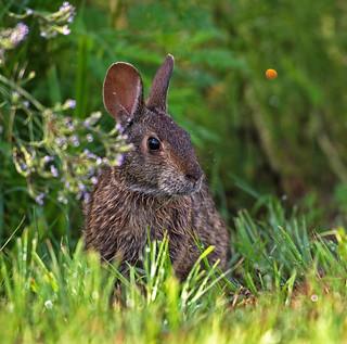 Contemplative prairie bunny!