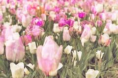 Flora Plenteous 74 (pni) Tags: flower tulip multiexposure multipleexposure tripleexposure helsinki helsingfors finland suomi pekkanikrus skrubu pni