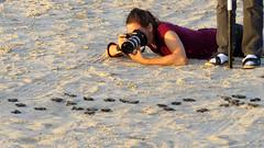 IMG_0173.1 (mikehogan2) Tags: padreisland nationalseashore kempsridley sea turtle texas hatchling